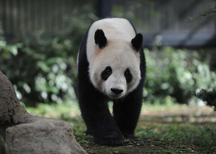 우에노 동물원에서 판다와 함께