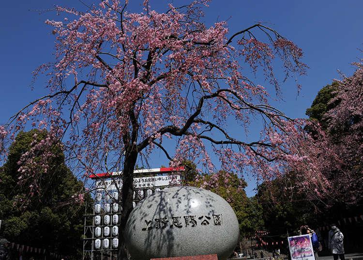 為何是賞櫻的聖地呢?