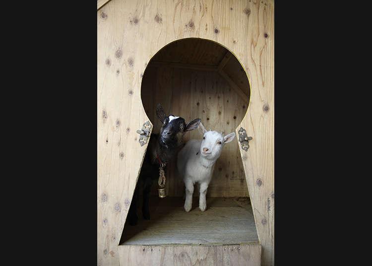 山羊是附近的人氣動物明星