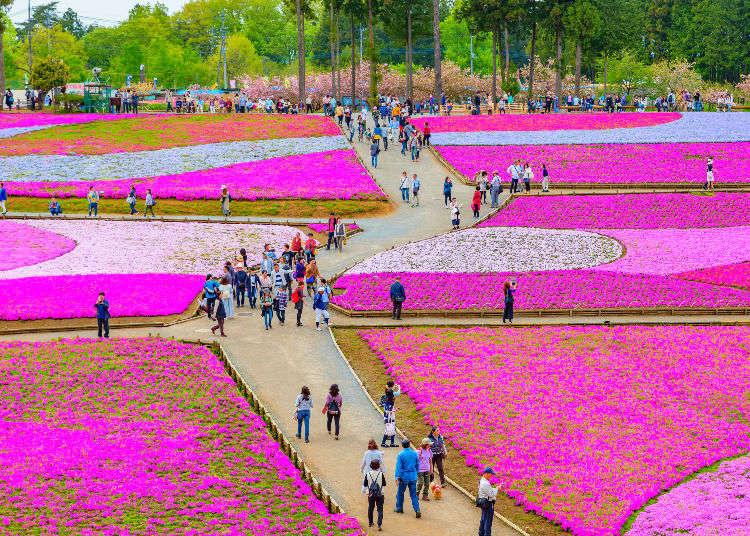 """เดินเล่นที่ """"จิจิบุ"""" ชมดอกชิบะซากุระ และประทับใจไปกับพรมดอกไม้สีชมพู !"""