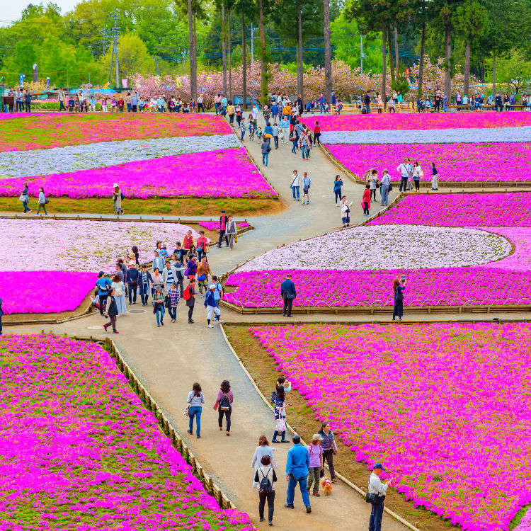 An Impressive Carpet of Pink Flowers! Stroll around Chichibu with a view of moss phlox plants.