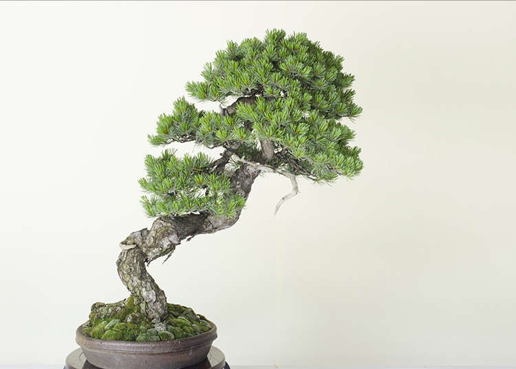 Bonsai miniature potted plant japanese cool art is now for Cool bonsai tree