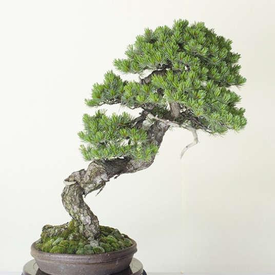 悠久の美 盆栽