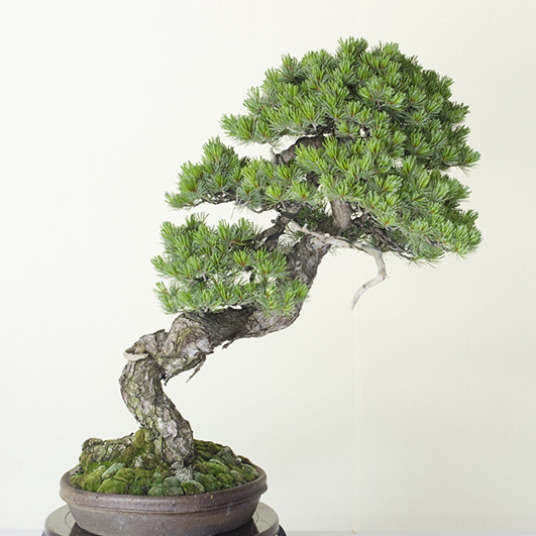 The Timeless Beauty of Bonsai