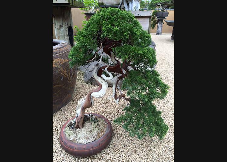 Daya tarikan bonsai