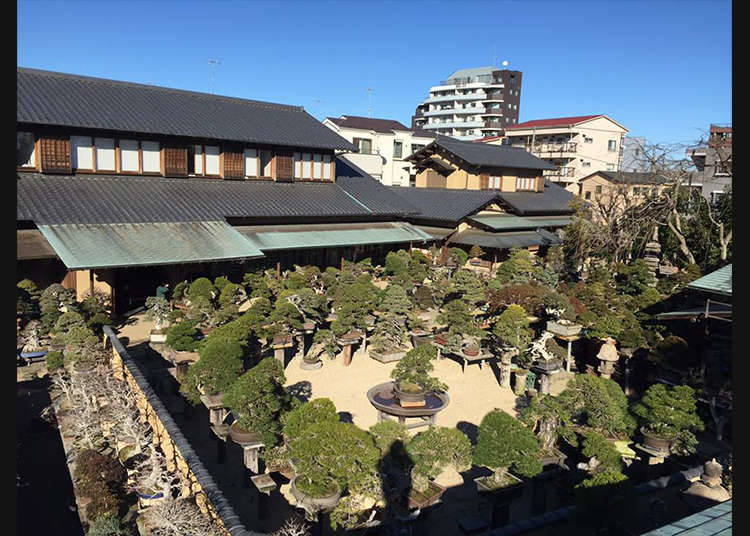 "Menikmati bonsai di ""Shunkaen BONSAI Museum"""
