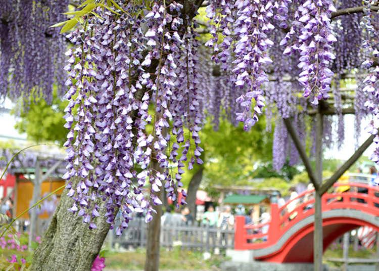 가메이도 덴진사 후지마쓰리(등꽃 축제)