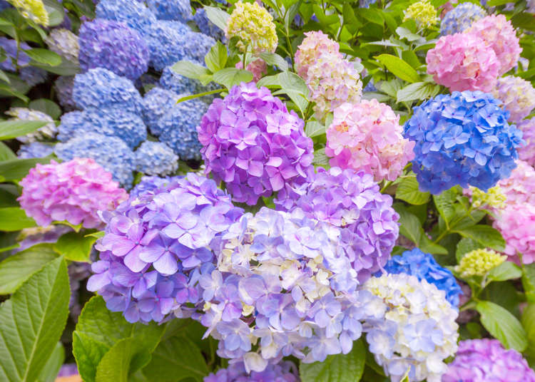 """จุดชมดอก """"ไฮเดรนเยีย"""" """"ฮะนะโชบุ"""" ดอกไม้แห่งเดือนมิถุนายน"""