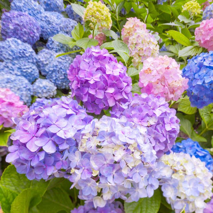 """Lokasi menyaksikan bunga bulan Jun """"Hydrangea"""" dan """"Iris"""""""