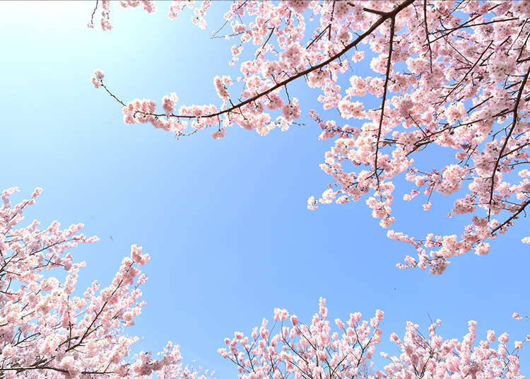 """What is Japan's unique forecast, the """"Japan's Cherry Blossom Fronts"""" about?"""