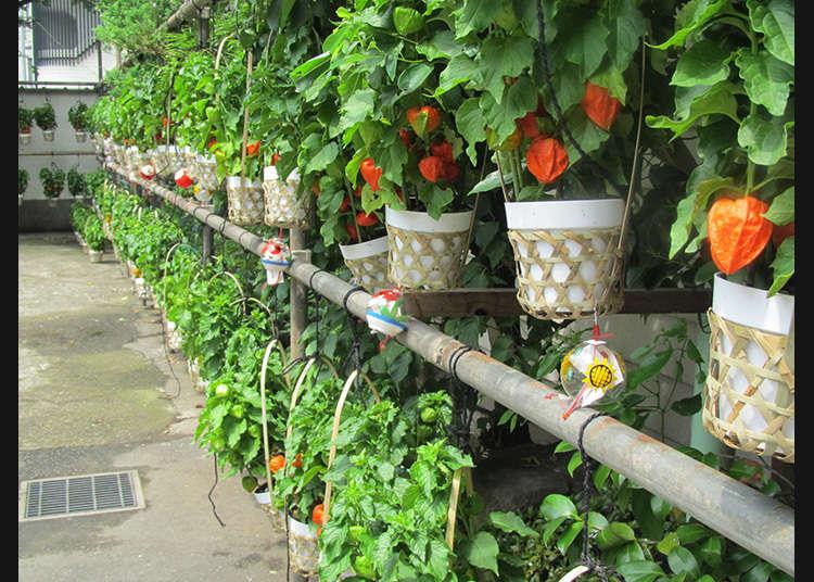 文京酸浆花市场