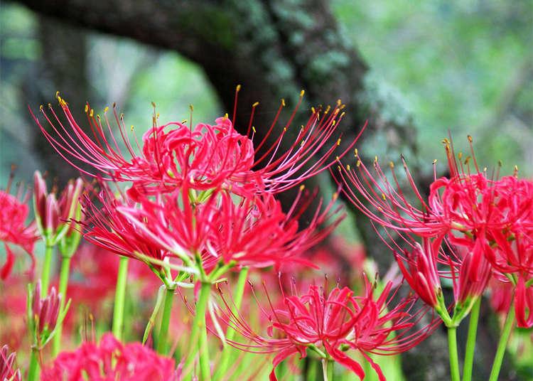 코스모스 & 석산이 피는 9월의 꽃구경 명소