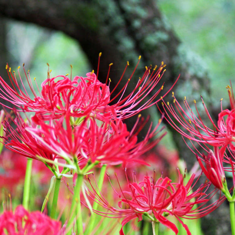 [2017] September Has Come: Discover Tokyo's Best Cosmos and Amaryllis Spots