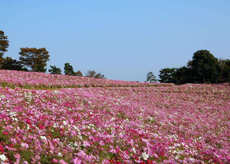 무려 560만 송이나 되는 도쿄 최대 규모의 코스모스밭