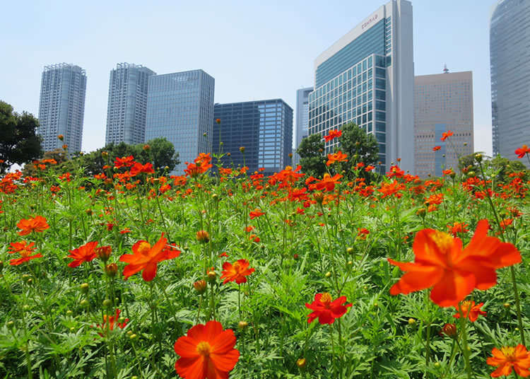 以高樓大廈為背景漂亮盛開的波斯菊