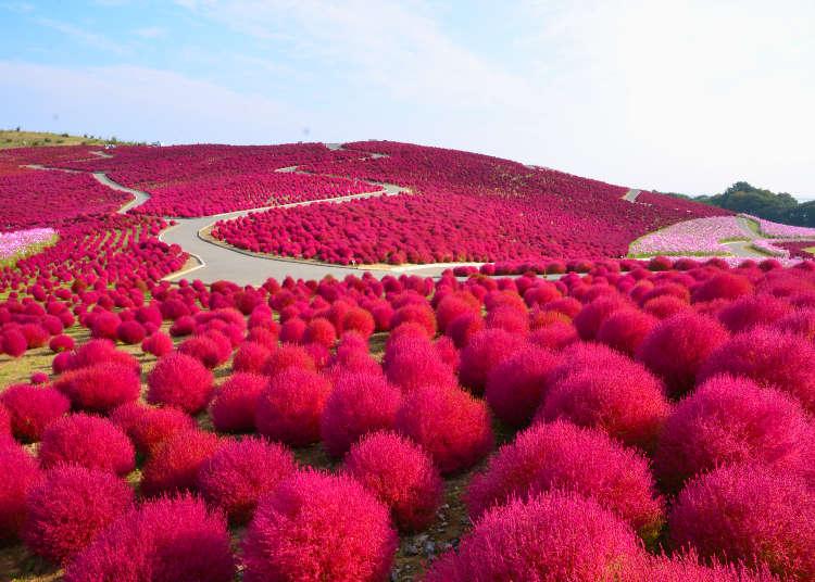 เพลิดเพลินไปกับสวนกุหลาบฤดูใบไม้ร่วง & จุดชมดอกคอสมอสและโคเคียสีแดง