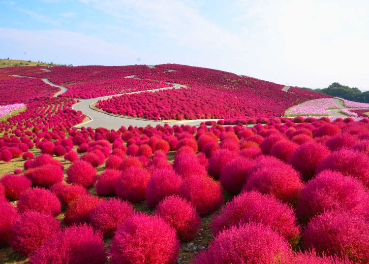 Taman untuk menikmati keindahan bunga ros & tempat menarik untuk daun musim Luruh Kokia dan Cosmos