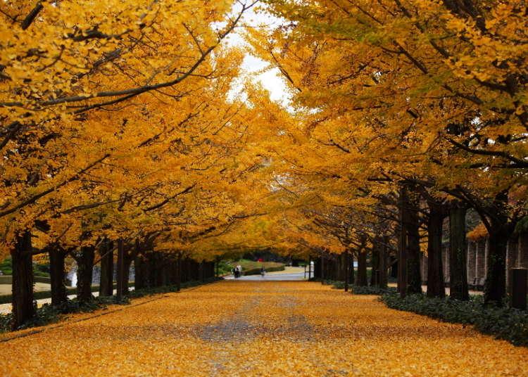노란색 카펫이 압권인 은행나무길