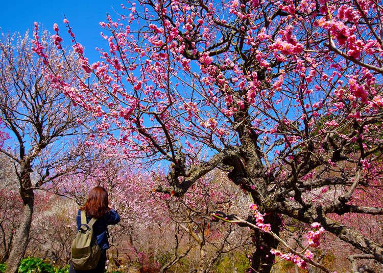 Baika: Japanese Plum Blossoms