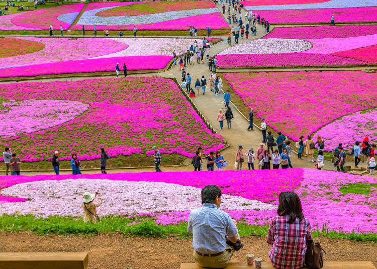芝樱 ー 把山丘染成浅粉色的季节