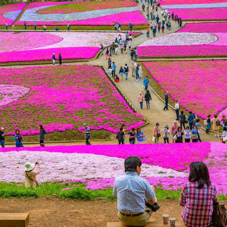 芝桜:丘が淡いピンクに染まる季節